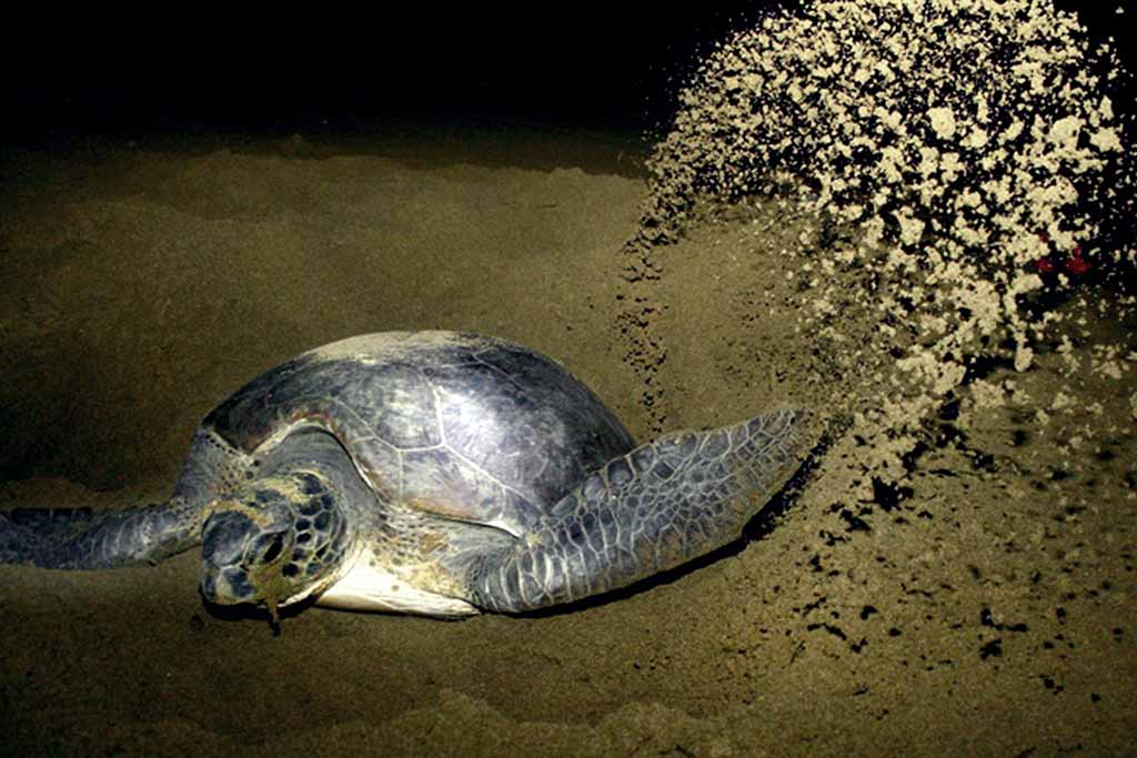 A turtles during nesting observation in Sukamade beach