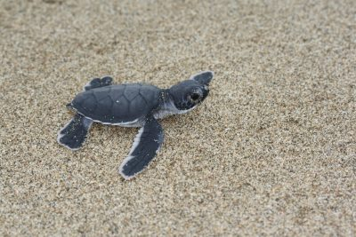 Turtle babies in Sukamade beach
