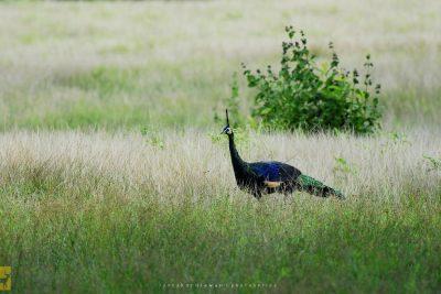 Burung Merak di Savana Sadengan Alas Purwo