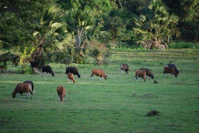Savana Sadengan - Taman Nasional Alas Purwo