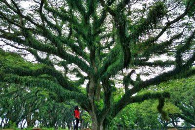 Trembesi forest in Benculuk - Banyuwangi