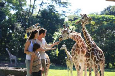 Feeding beautiful animal in Safari Park 2 Prigen