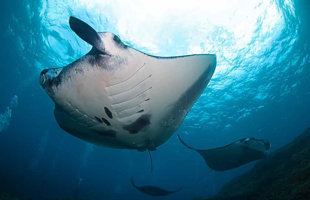 The Manta ray in Nusa Penida